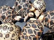 Pairs tortoises From Our Garden For Sale