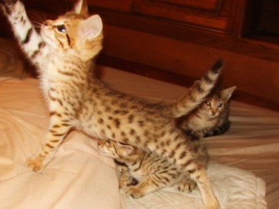 F5 and F2 Savannah Kittens for sale  F1 Sav kittens coming