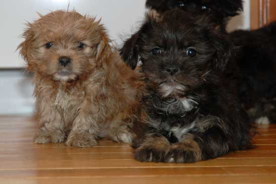 Shorkie (Shih Tzu / Yorkie) puppies - Toronto - Dogs for