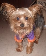 ***** PureBred Yorkshire Terrier for STUD service (TeaCup) *****