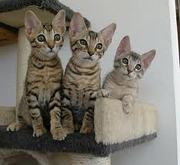 Adorable savannah ,  bengal ,  sphinx and ocelots kittens for sale