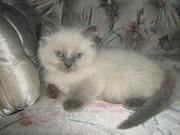 T.I.C.A Registered Ragdoll Kittens