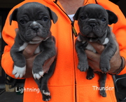 Awasome French Bulldog Puppies Males and Females