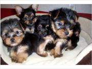 The smallest Teacup Yorkie Puppies for adoption 150