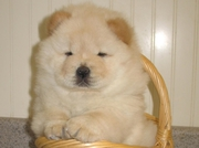 CHARMING CHOW CHOW BOYS AND GIRLS PUPPIES FOR SALE