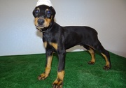 DOCK TAIL CROBE EAR DOBERMAN PUPPIES READY TO GO