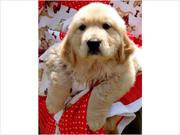 Akc Purebred Golden Retriever Puppies Available..