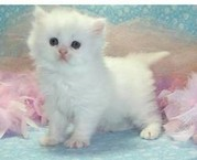 Two White Persian Kittens