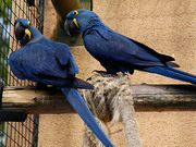 Pair of hand Tamed Hyacinth macaw parrots for Adoption.
