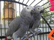 Tamed And Talking African Grey Parrots For Adoption